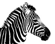 Vet Photo Posters - Zebra Poster by Rebecca Margraf