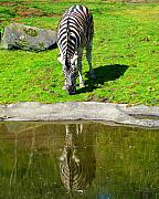 Zebra Photo Posters - Zebra Reflections Poster by Nick Gustafson