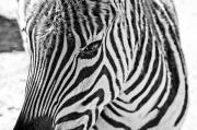 Lensbaby Close-up Posters - Zebra Poster by Scott Pellegrin