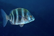 Striped Seabream Posters - Zebra Seabream swimming Poster by Sami Sarkis