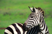 Zebra Photos - Zebra by Sebastian Musial
