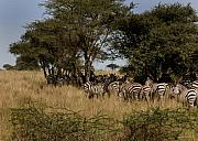 Serengeti Posters - Zebra Seeking shade Poster by Joseph G Holland