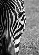 Zebra Photo Posters - Zebra Stripes Poster by Sabrina L Ryan