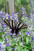 Zebra Butterfly Acrylic Prints - Zebra Swallowtail Butterfly on Purple Flowers Acrylic Print by Eva Kaufman