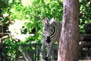 Savannahs Framed Prints - Zebra Framed Print by Thea Wolff