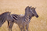 Zebra Photo Posters - Zebra Trifecta Poster by Scotts Scapes