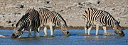 Waterhole Framed Prints - Zebra Trio Framed Print by Bruce J Robinson