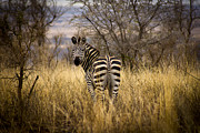 Tarangire Prints - Zebra Watching his Back Print by Darcy Michaelchuk