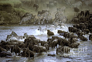 Greg Dimijian - Zebras And Wildebeest Crossing River