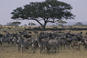Zebras Photos - Zebras And Wildebeests In The Serengeti by Annie Griffiths