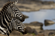Profile Of Zebra Posters - Zebras At Mara River Crossing Poster by Manoj Shah