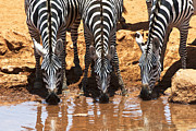 Zebras Photos - Zebras at the Watering Hole by Marion McCristall