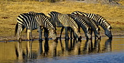 Bruce Colin - Zebras at waterhole