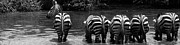 Panoramic - Zebras Cautiously Drinking by Darcy Michaelchuk