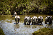 On-the-look-out Prints - Zebras Drinking with One on the Lookout Print by Darcy Michaelchuk