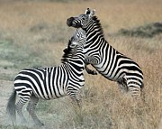 Zebra Photos - Zebras fighting by Alan Clifford