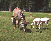 Goat Reliefs Metal Prints - Zebras grazing Metal Print by Lee Hartsell
