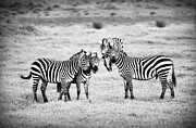 Animal Hunting Prints - Zebras in Black and White Print by Sebastian Musial