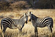 Zebras Photos - Zebras in the Morning Light by Marion McCristall