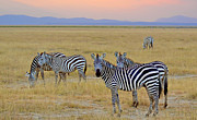 Zebras In The Morning Print by Pravine Chester
