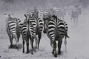 Zebras Photos - Zebras Kick Up A Dust Storm by Bobby Model