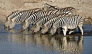Zebra Digital Art - Zebras Lined up to Drink by Nancy Hall