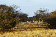Zebras Photos - Zebras Running by Marion McCristall