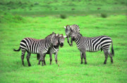 African Animals Photo Posters - Zebras Poster by Sebastian Musial