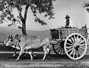 Cart Driving Posters - Zebu Cart Poster by Richard Harrington