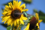 Sunflowers Art - Zeroing in on the Subject Matter by Cathy  Beharriell