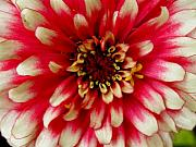Zinna Photos - Zinna Closeup by Jeanette Oberholtzer