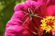 Arthropod Photos - Zinnia and Spider by Thomas R Fletcher