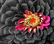 Zinnia Print by Dave Mills
