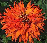 Gardening Photography Paintings - Zinnia by Norma Boeckler