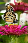 Zinnia Rose And Monarch Print by Steve Augustin