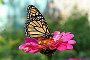 Steve Augustin Prints - Zinnia with the Monarch Print by Steve Augustin
