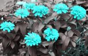 Zinnias Digital Art - Zinnias in Aqua by Linda Phelps