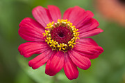 Gerbera Originals - Zinnias seem especially favored by butterflies by Anek Suwannaphoom