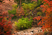 Red Leaves Photo Acrylic Prints - Zion Fall Colors Acrylic Print by Dave Dilli