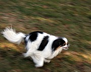 Japanese Dog Photos - Zoomies by Caroline Bogart