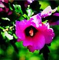 Rose Of Sharo...