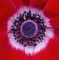 Anemone Coronaria Harmony Scarlet Flower by Tim Gainey