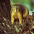 Fox Squirrel by Robert Bales
