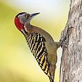 Hispaniolan Woodpecker by Jim Nelson