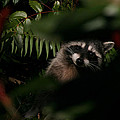 I Can See You  Mr. Raccoon by Kym Backland