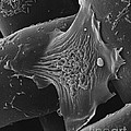 Amoeba Crawling On Nylon Mesh Sem by David M. Phillips