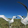Antipodean Albatross Courtship Display Print by Tui De Roy