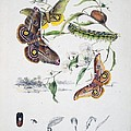 Australian Butterflies Print by Philip Ralley