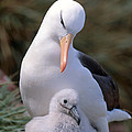 Black-browed Albatross With Chick by Art Wolfe