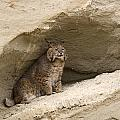 Bobcat  Felis Rufus by Carol Gregory